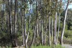 Photo eucalyptus